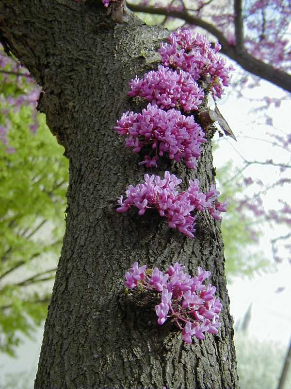 American Red Bud