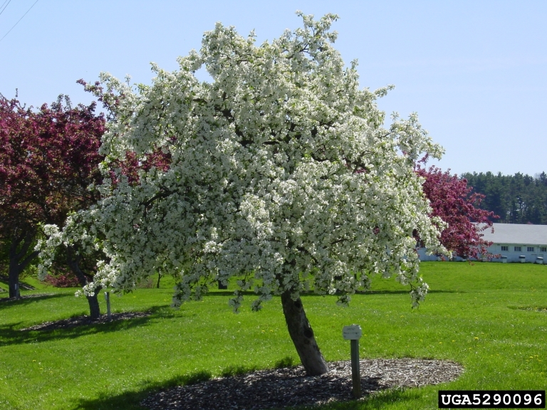 how to grow a flowering crabapple tree