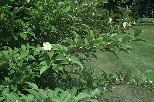 Korean Stewartia